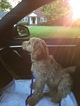 Goldendoodle Puppy For Sale in WEST HEMPSTEAD, NY, USA