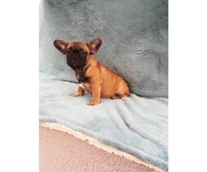 a498d47a411 French Bulldog Puppy for sale in TEMPE