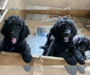 Poodle (Standard) Puppy for sale in CANADENSIS, PA, USA
