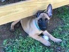 Belgian Malinois Puppies preregistered litter