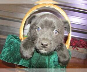 Australian Cattle Dog-German Shepherd Dog Mix Dog for Adoption in STURGIS, Michigan USA