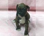 Puppy 7 Boxer