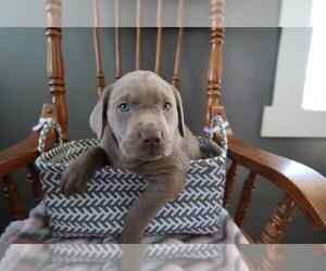 Labrador Retriever Puppy for sale in CHICAGO, IL, USA
