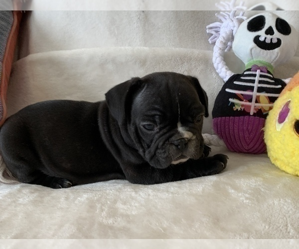 Medium Photo #9 French Bulldog Puppy For Sale in JOHNS ISLAND, SC, USA