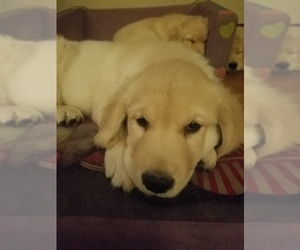 Golden Retriever Puppy for Sale in ORRVILLE, Ohio USA