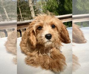 Cavapoo Dog for Adoption in CHATHAM, Pennsylvania USA