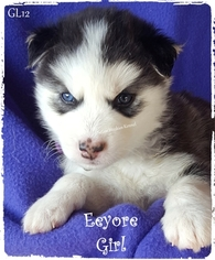 View Ad: Siberian Husky Puppy for Sale, Texas, QUINLAN, USA