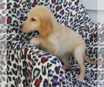 Small #6 Golden Retriever