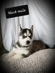 Siberian Husky Puppy For Sale in EXCELLO, Missouri,