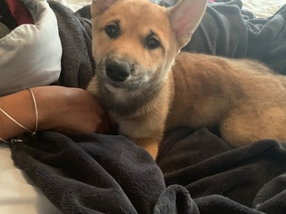 Shiba Inu Puppy For Sale in GLENARDEN, MD, USA