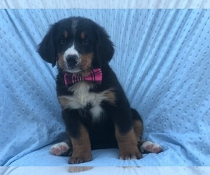 Bernese Mountain Dog Puppy for sale in CEDAR LANE, PA, USA