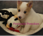 Small Photo #4 Pomsky Puppy For Sale in SEQUIM, WA, USA