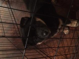 Shiba Inu Puppy For Sale in COLCHESTER, CT