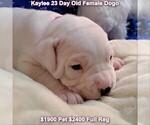 Small #27 Dogo Argentino