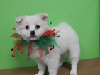American Eskimo Dog Puppy For Sale in HAMMOND, IN, USA