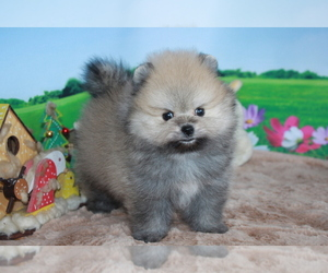 Pomeranian Puppy for sale in HOUSTON, TX, USA