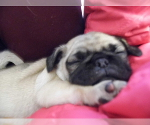 Pug Puppy for sale in LYNDON CENTER, VT, USA