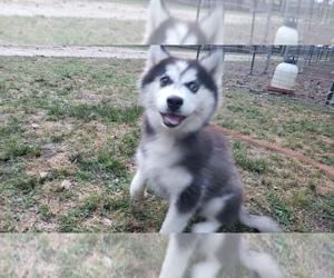 Siberian Husky Puppy for sale in DINWIDDIE, VA, USA