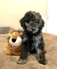 Labradoodle Puppy For Sale in MEDFORD, OR, USA