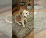 Puppy 4 Australian Shepherd-Beagle Mix