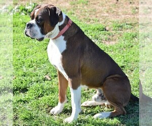 Father of the Boxer puppies born on 02/28/2019