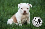 Female American Bulldog Luna