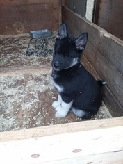 Siberian Husky Puppy For Sale in MARSHFIELD, WI, USA