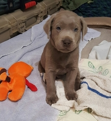 Labrador Retriever Puppy For Sale in CLACKAMAS, OR