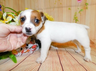 Jack Russell Terrier Puppy for sale in HAMMOND, IN, USA