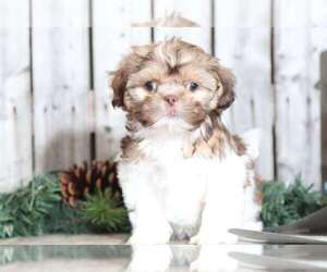 Zuchon Puppy for sale in MOUNT VERNON, OH, USA
