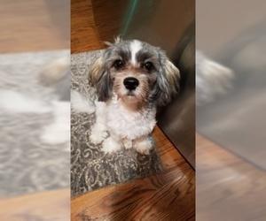 Havanese Puppy For Sale in MANASSAS, VA, USA