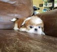 Shih Tzu Puppy For Sale in LOS ANGELES, CA,