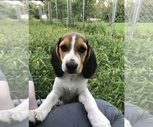 Beagle Puppy for sale in LAMONI, IA, USA