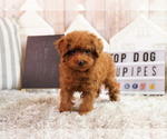 Poodle (Toy) Puppy For Sale near 92833, Fullerton, CA, USA