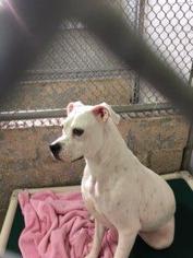 Lillie Bell - American Bulldog Dog For Adoption