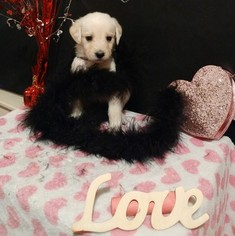 Labradoodle Puppy For Sale in PLEASANT GROVE, UT