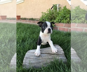 Boston Terrier Puppy for sale in WINTON, CA, USA