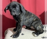 Puppy 0 Cane Corso