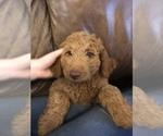 Goldendoodle-Poodle (Standard) Mix Puppy For Sale in PILOT POINT, TX, USA