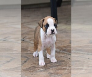 Boxer Puppy for Sale in YORK, South Carolina USA