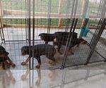 Small #76 Rottweiler