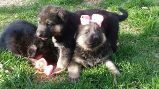 German Shepherd Dog Puppy For Sale in MOUNTAIN GROVE, MO, USA