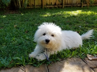 Bolognese Puppy For Sale in FORT LAUDERDALE, FL