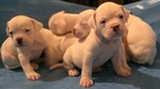 American Bulldog Puppy For Sale in AUGUSTA, GA