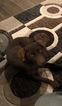 Small #1 Huskimo-Labrador Retriever Mix