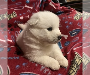 Samoyed Puppy for sale in MESA, AZ, USA