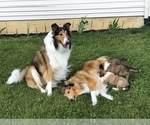 Collie Puppy For Sale in PLEASANT LAKE, IN, USA