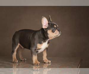 Father of the French Bulldog puppies born on 03/21/2021