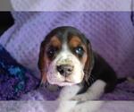 Small #21 Beagle