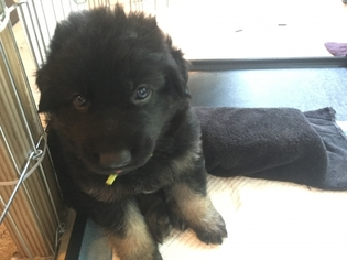 View Ad German Shepherd Dog Puppy For Sale Near Nevada Las Vegas